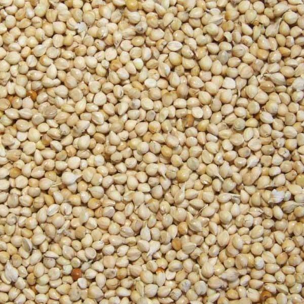 Graines de millet Blanc