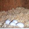 Nid perroquet en bois brut - avec des oeufs