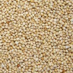Graines de millet Blanc - 25 kg