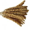Millet en grappe français